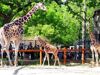 Giraffe (African Sahara Desert)