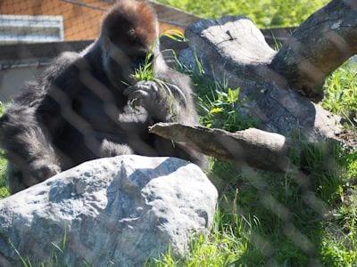 Central African Gorilla