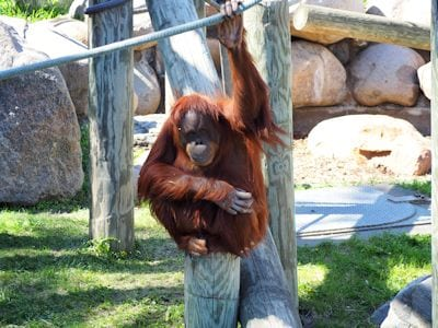 Northern Sumatra Orangutan