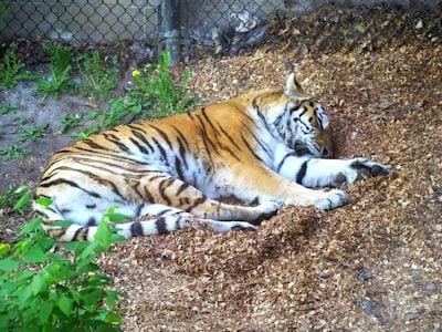 Tiger (Asia)