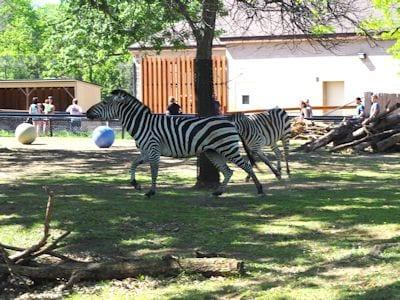 Zebra (Africa)