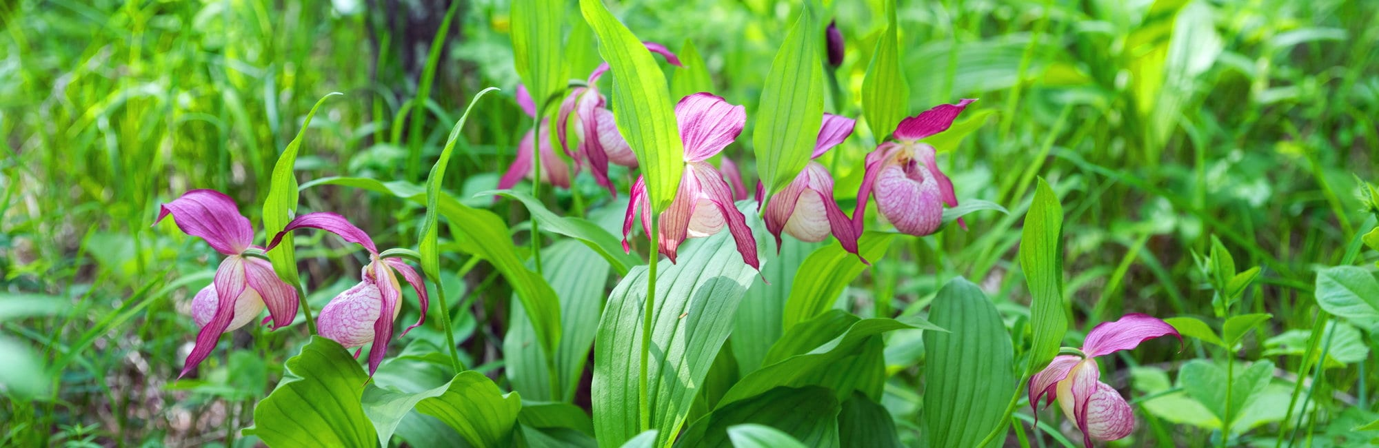 slide-blog-lady-slipper-orchids